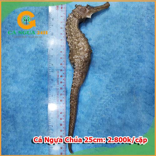 Cá ngựa chúa đại dương 25cm