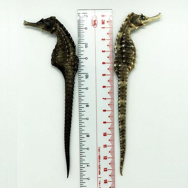 Cá Ngựa Đại Dương Khô 13cm | Đảm Bảo Uy Tín - Chất Lượng |