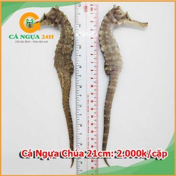 Cá ngựa chúa đại dương 21cm