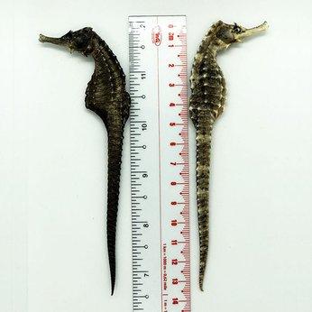 Cá Ngựa Đại Dương Khô 13cm
