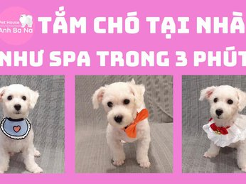 Hướng dẫn tắm chó Poodle tại nhà như SPA