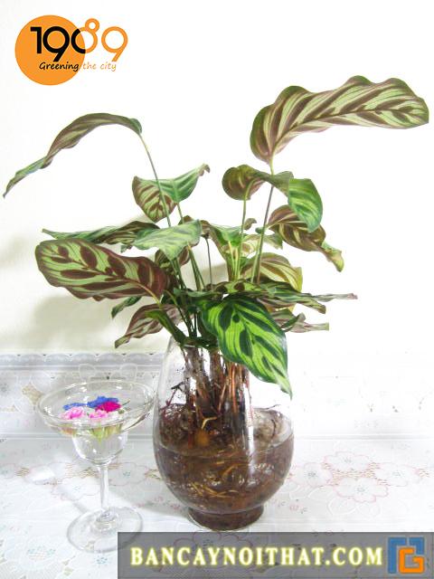 Cây Đuôi Phụng cũng có thể trồng thủy canh
