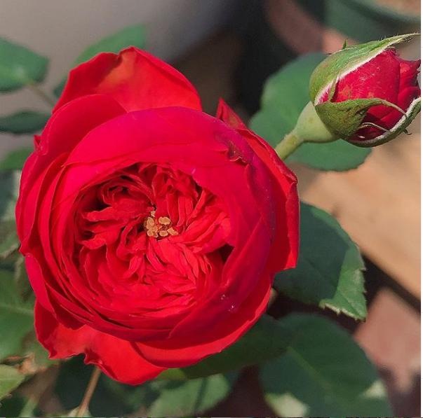 Đất trồng cao cấp dành riêng cho hoa hồng