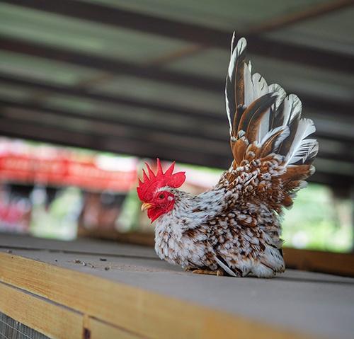 15 loại gà tre kiểng đẹp thịnh hành tại Việt Nam 2020 - Bạn nên biết !