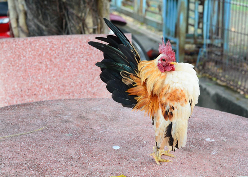 Tổng hợp các giống gà tre đá tốt nhất hiện nay  950104791