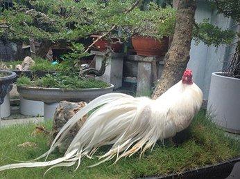 6 giống gà tre đuôi dài được chọn nuôi làm cảnh nhiều nhất 2019.