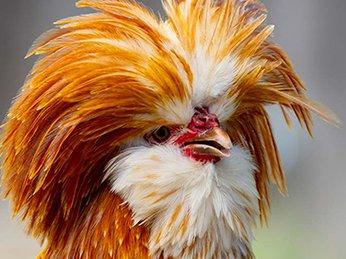 15 loại gà tre kiểng đẹp thịnh hành tại Việt Nam 2020 – Bạn nên biết !