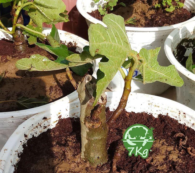 Bộ cây giống Sung Mỹ từ Pháp
