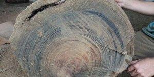 Cách phân biệt gỗ thủy tùng giả và thủy tùng thật